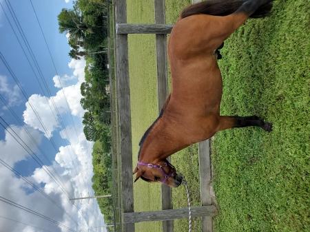 Little Kings Reno, Miniature Stallion for sale in Florida