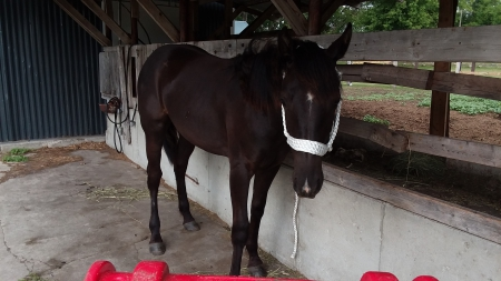 Whisper , American Warmblood Mare for sale in Minnesota