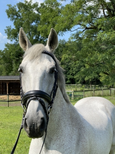 Imprivisado H, Andalusian Gelding for sale in New York