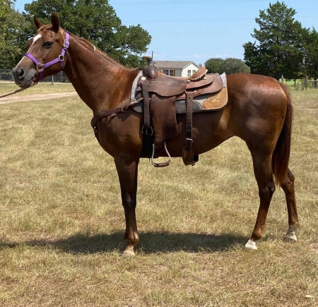 Kelly a brood mare, Quarter Pony Mare for sale in Texas