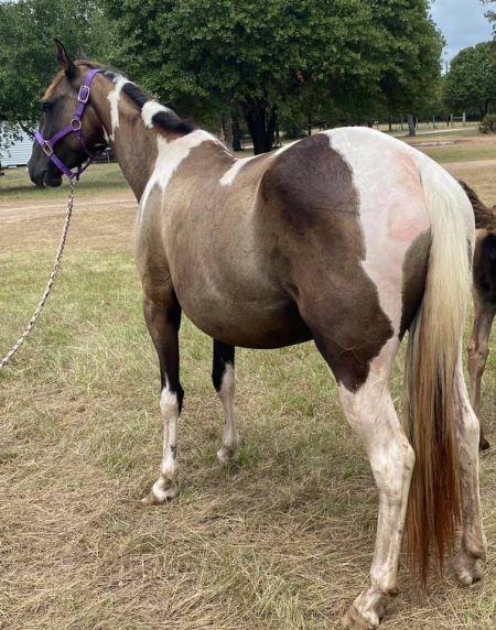 Paint Dun Mare, Pinto Mare for sale in Texas
