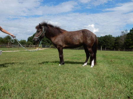 Litla Dao from black creek, Icelandic Mare for sale in Georgia