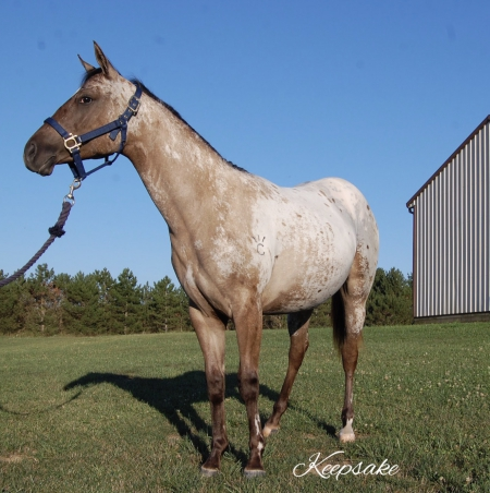 Skylar, Appaloosa Filly for sale in Ohio