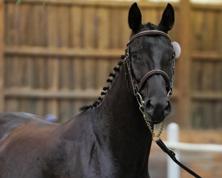 Hanoverian, Hanoverian Mare for sale in Colorado