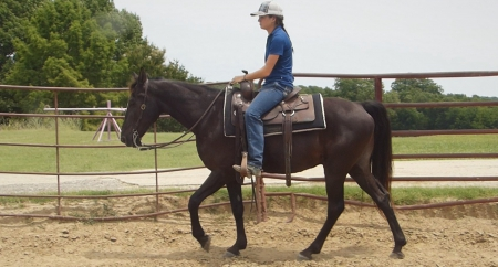 Clyde - 15.0H, 10 year old, Black, Tennessee Walking Horse, Gelding, Tennessee Walking Horses Gelding for sale in North Carolina