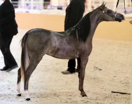 Comferts Night of Dreams, Shetland Pony Filly for sale in Texas