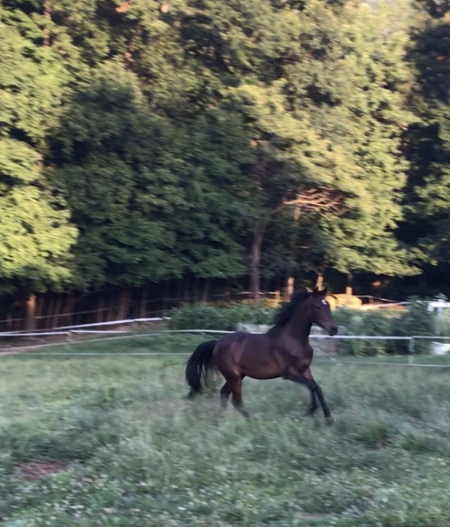 Crescent , Morgan Filly for sale in Pennsylvania