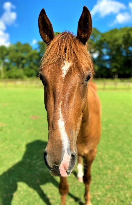 Rusty (Quiet Project Gelding 4yrs Old), American Quarter Horse Gelding for sale in North Carolina