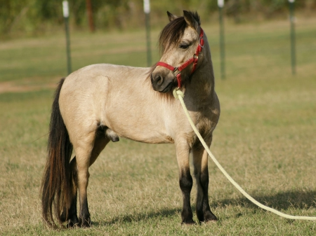 Hopscotch - A Beautiful Sweet Darling for Sale, Ponies Gelding for sale in California