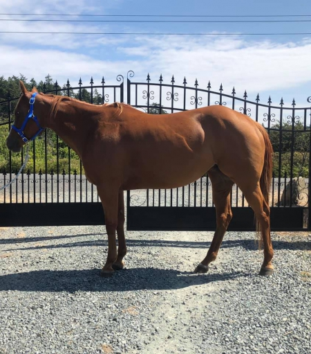 Terras Fearless Fox, American Paint Horse Association Mare for sale in Washington