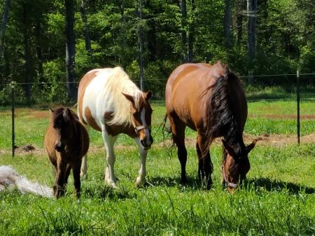 Millie, American Quarter Horse Mare for sale in Virginia