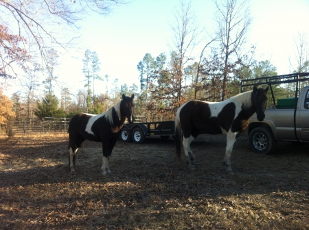 Penny & PJ, Pinto Mare for sale in Arkansas