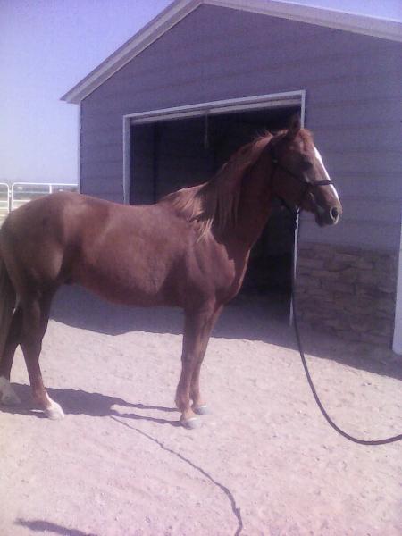 Pico Lena Whiz, American Quarter Horse Gelding for sale in Arizona