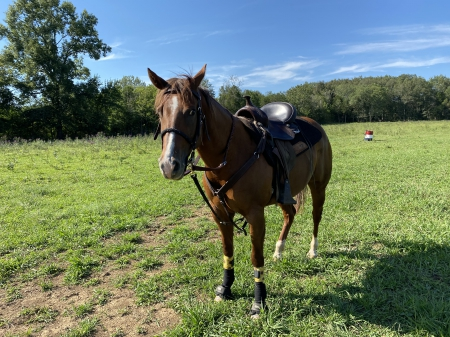 Dolly, Quarter Horse Cross Mare for sale in Tennessee