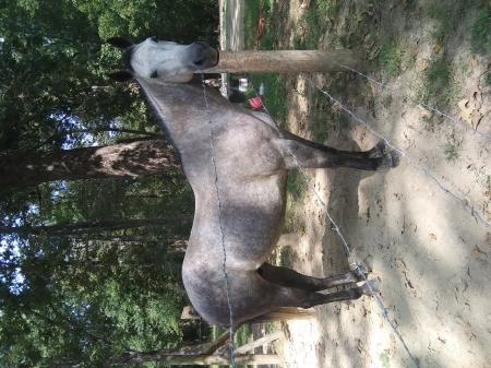 RJM Hickorys Roper, American Quarter Horse Mare for sale in Kentucky