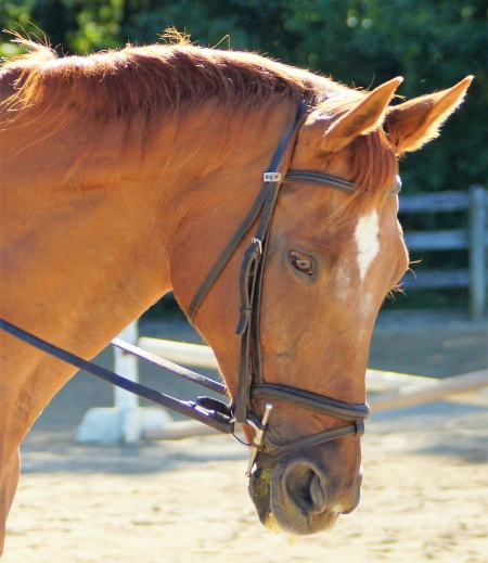 Allegiant, Thoroughbred Mare for sale in Ohio