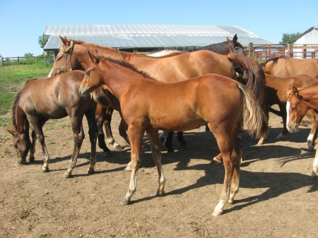 Boon Smart Freckles                                 , American Quarter Horse Colt for sale in Iowa