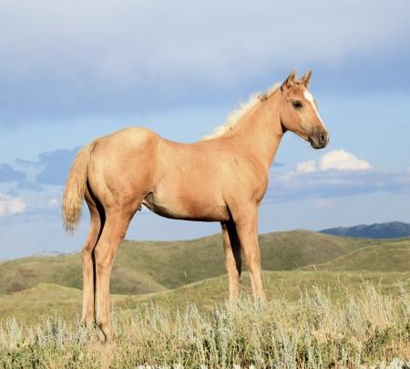 TS SHAKE EM WHISKY, American Quarter Horse Stallion for sale in Montana