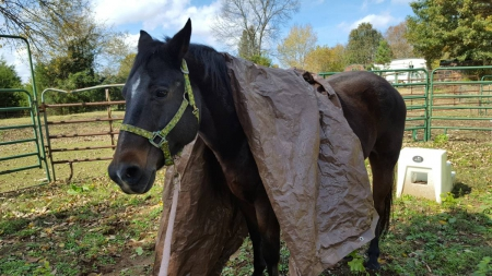 Texas, American Quarter Horse Gelding for sale in Tennessee