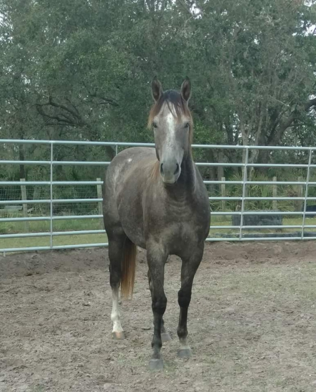 Callie, American Quarter Horse Mare for sale in Florida
