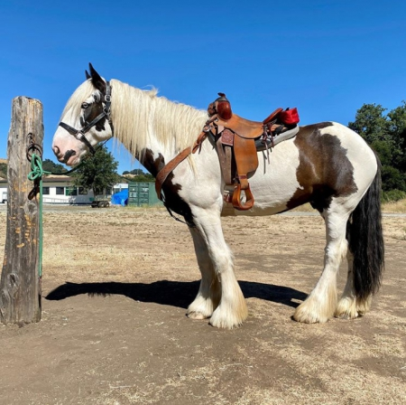 Fame, Shire Gelding for sale in Oregon