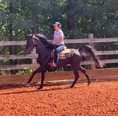 Java Arabica, Arabian Stallion for sale in Virginia