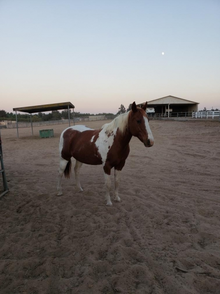 Shiloh, American Paint Horse Association Mare for sale in California