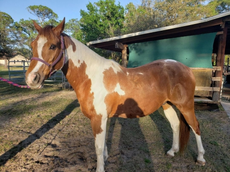Windwalkers Sixty Second Flash , Pinto Gelding for sale in Florida