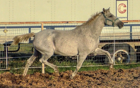 Capariana de Teodoro, Andalusian Mare for sale in Texas
