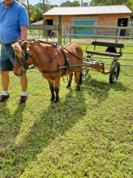 Reno, Miniature Stallion for sale in Florida