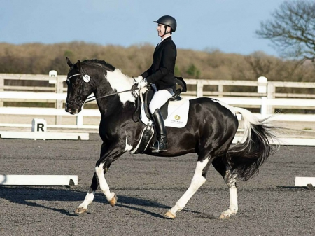 Fanciful 2009 gelding with remarkable work experience. , Irish Sport Horse Gelding for sale in California