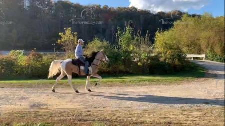 Vegas , Kentucky Mountain Saddle Horse Gelding for sale in Kentucky