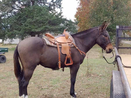 Luke, Mule Gelding for sale in Arkansas