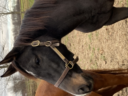 Convertible, Thoroughbred Mare for sale in Pennsylvania