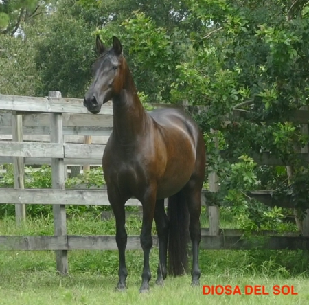 Diosa del sol, Andalusian Mare for sale in Florida