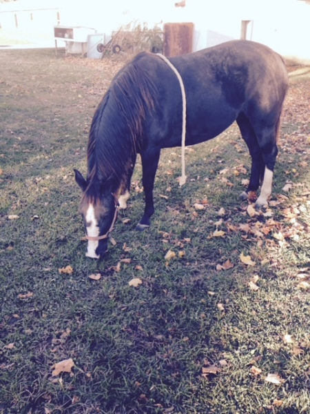 Razberry, Morgan Mare for sale in Maryland