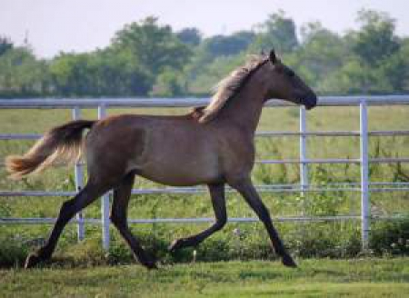 Gray Andalusian colt with incredible lineage!, Andalusian Colt for sale in Texas