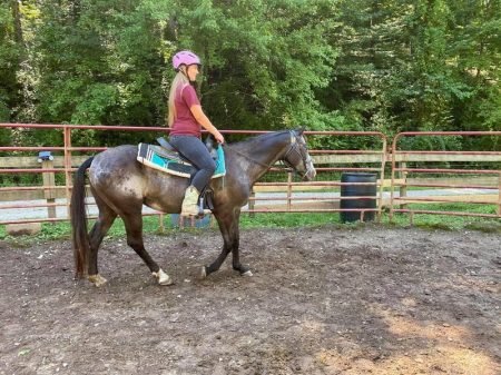 Eclipse, Appaloosa Mare for sale in Pennsylvania