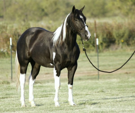 Apache - A Gentle Gelding with Good Looks and Lots of Talent!, Pinto Gelding for sale in California