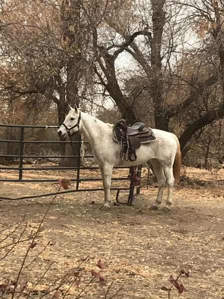 Pegasus , Andalusian Mare for sale in Utah