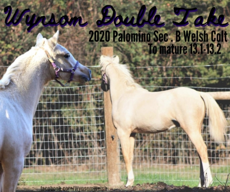 Wynsom Double Take, Welsh Pony Colt for sale in Oregon