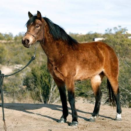 Mercy - Super FANCY Buckskin Pony for Sale, Ponies Mare for sale in California