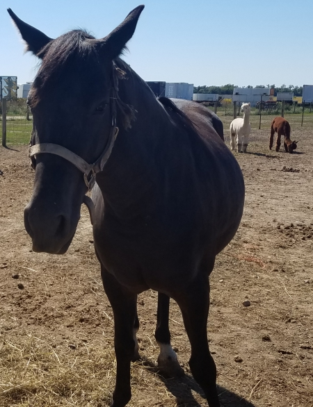 Maddie, Quarter Horse Cross Mare for sale in Ohio