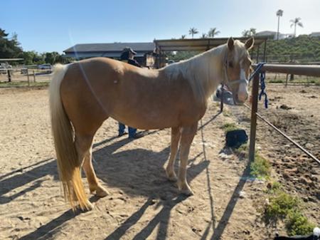 Quarter Horse Palomino Mare, Palomino Mare for sale in California