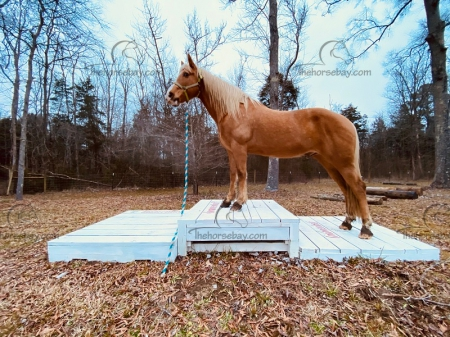Flash, Tennessee Walking Horses Gelding for sale in South Carolina