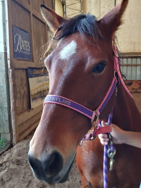 Bullet with Butterfly Wings, Quarter Horse Cross Mare for sale in New York