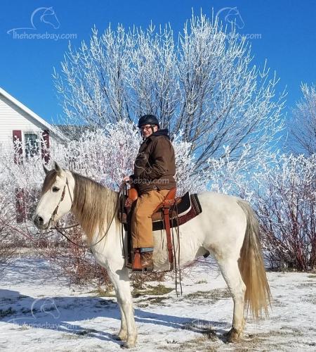 Playboys Casseys Blue aka Jet , Missouri Fox Trotting Horse Gelding for sale in Minnesota