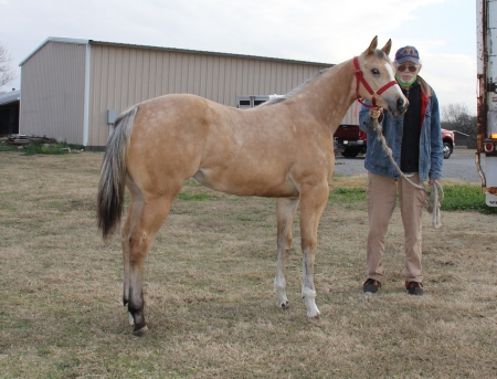 Millie, American Paint Horse Association Filly for sale in Texas