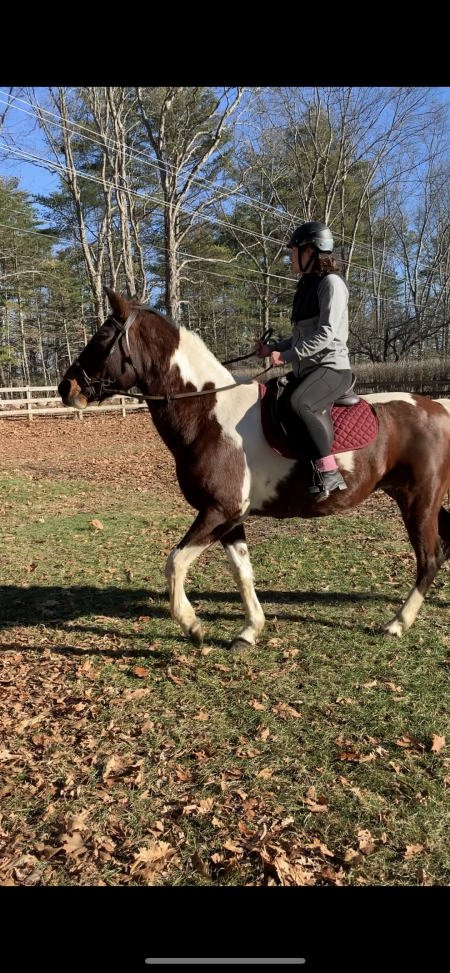 Smores, Pinto Mare for sale in New Hampshire
