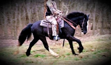 Magnus the Great, Gypsy Vanner Gelding for sale in Missouri